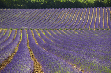 Discover the lavender in Provence
